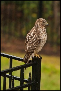 Hawk that comes out when it rains