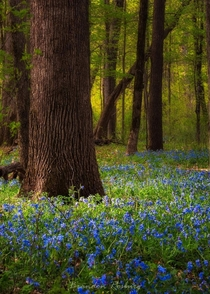Heard the bluebells are starting to pop Went to Heery Woods near Clarksville IA this morning for a photo