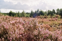 Heather Calluna vulgaris looking vibrant on Lindow peat bogs England