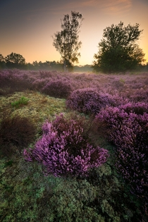 Heather in morning light  Bergen op Zoom the Netherlands
