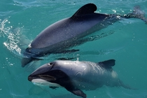 Hectors Dolphins Cephalorhynchus hectori NZ