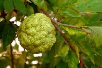 Hedgeapple Maclura pomifera