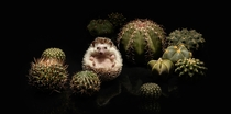 Hedgehog and Cacti by Serial Cut