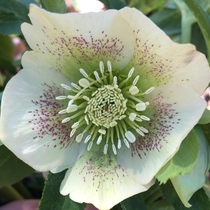 Hellebore aka Lenton Rose which escaped from someones property and invaded the local forest Non native to the US