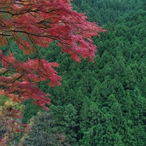 Hello Fall Japanese Maple greets Conifers in Okutama Valley Japan   x