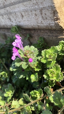 Henbit Lamium amplexicaule glistening in the early morning dew