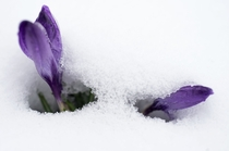 Heralding the end of winter crocuses emerge from snow cover Sven Hoppe