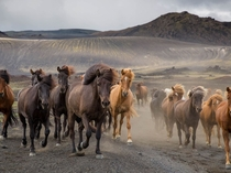 Herd of horses in the Icelandic highlands by photo by Charlotte Goss