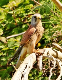 Here is a photo of a lesser kestrel enjoying its meal on the branch of a tree