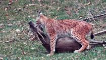 Here is a photo of an iberian lynx with a freshly killed roe deer in his jaws captured in the forests of southern Spain