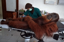 Here is a picture of the worlds chillest orangutan