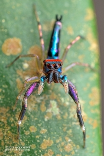 Heres a colorful jumping spider for you all