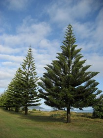 Heres a picture of a lovely conifer Araucaria heterophylla