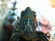 Heres looking at you kid NYC Red Eared Slider Turtle CLOSE UP