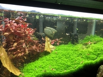 Heres some aquatic botanical porn HCcuba-dwarf baby tears and Alternanthera Reineckii