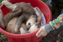 Heres those two sloths again It can be quite stressful and therefore dangerous for sloths to be handled by humans so its better and easier to transport them in a comfy-ish bucket Awww sloths