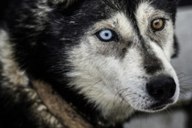 Heterochromic sled dog
