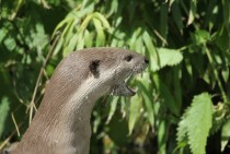 Hey you European otter - Lutra lutra -