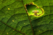Hide and Seek - big eyed mantid peeking through leaf - photo by Rahat M Ahmed
