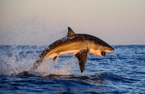 High-flying Great White shark Carcharodon carcharias off the coast of Gansbaai South Africa Thomas Pepper