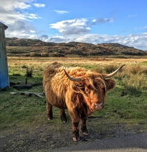 Highland cattle Bos taurus