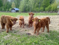 Highland Cattle calves in Finland