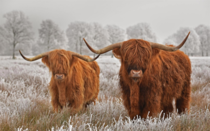 Highland cattle do you know other resistant breeds for outside