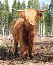 Highland cattle in Finland kind of emo