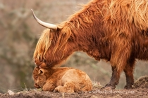 Highland Cow and Calf  photo by Barbara Jones