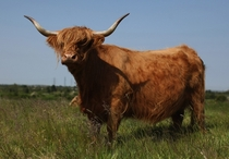 Highland cow Bos taurus graze on grassland at Thurrock Thameside Nature Park in Thurrock England Dan Kitwood