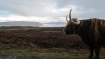 Highland Cow Isle of Skye  xpost from rScotland
