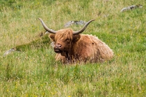 Highland cow on the Isle of Skye