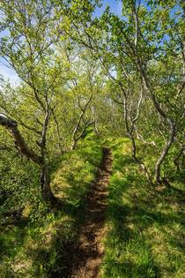 Hiking trail through a Birch Grove in Northern Iceland