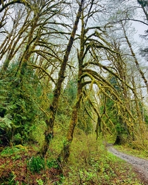 Hiking trail through mossy trees on a misty spring morning - Cascades WA -