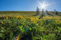 Hills near Missoula Montana covered with arrowleaf balsamroot - thinking of spring