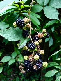 Himalayan Blackberry Rubus armeniacus in Seattle  - The berries are very edible but this is an invasive species that can spread quickly