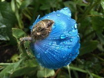 Himalayan blue poppy Meconopsis Lingholm opening last spring in my garden