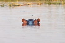 hippo in the Caprivi Strip Namibia