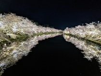 Hirosaki Castle Cherry Blossoms at night