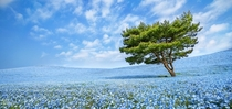 Hitachi Seaside Park in Japan credit photographer Takeshi Marumoto