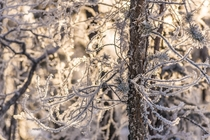 Hoar frost on a tree from Yellowknife NT