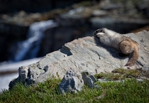 Hoary Marmot contemplating existence Glacier National Park MT