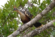 Hoatzin in the Amazon forests