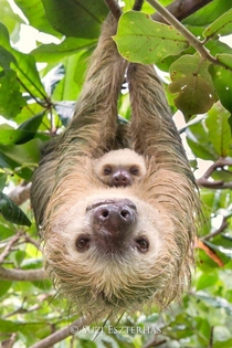 Hoffmanns Two-toed Sloth Mother and baby