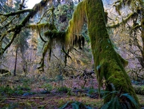 Hoh Rainforest Olympic National Park  By Melissa Locker