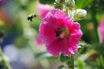 Hollyhock Alcea rosea with a bee in it