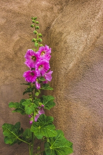 Hollyhocks  Alcea rosea in Taos NM
