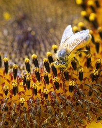 Honey Bee Apis vs Sunflower pollen