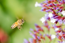 Honeybee Apis mellifera foraging