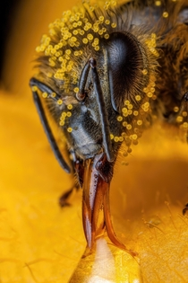 Honeybee Covered in Zucchini Pollen